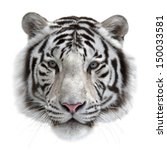 Face Of A White Bengal Tiger ...