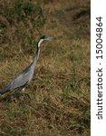 black headed heron stalking prey | Shutterstock . vector #15004864