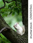 Rare White Squirrel In A Tree...