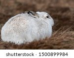 Stock photo without snow the white mountain hare on the cairngorms are exposed to photographer and more 1500899984