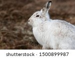 Stock photo without snow the white mountain hare on the cairngorms are exposed to photographer and more 1500899987
