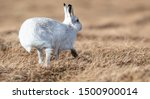 Stock photo without snow the white mountain hare on the cairngorms are exposed to photographer and more 1500900014