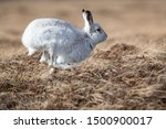 Stock photo without snow the white mountain hare on the cairngorms are exposed to photographer and more 1500900017