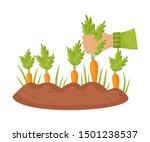 Ripe Carrots In The Garden....