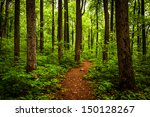 Trail Through Tall Trees In A...