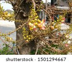 A Cannon Ball Flower Tree