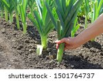 Small photo of A Hand Pulling Up An Organically Grown Leek On An Allotment Vegetable Plot.