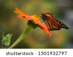 Monarch Butterfly Pollinating...