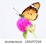 Stock photo beautiful plain tiger butterfly perching on pink flower 150197234