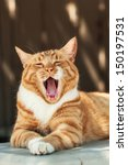 Feral Orange Tabby Cat Laying...