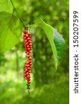 Ripe Black Pepper On The Tree ...