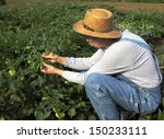 gardener in a straw hat picking ... | Shutterstock . vector #150233111
