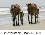 2 Outer Banks Wild Mustang...