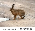 Stock photo european brown hare lepus europaeus resting next to a puddle of water on a dirt road 1502479154