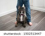 Stock photo french bulldog puppy standing between kids legs looking up with a puppy dog face 1502513447