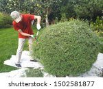 Kazan, Tatarstan, Russia - September, 6, 2019. Old gardener using large garden shears for cutting Bush willows. Haircut Bush in the shape of a ball. Decorative garden mowing the plants. - stock photo