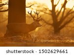 Close Up Of A Red Deer Walking...