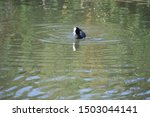 Eurasian Coot Swimming In Murk...