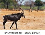 Large Male Sable Antelope On...