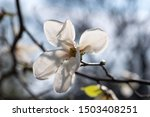 Magnolia White Flowers Blooming ...