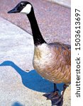 A Curious Canada Goose Checkin...