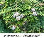 Lawson Cypress  Chamaecyparis...