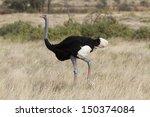 male somali ostrich walking | Shutterstock . vector #150374084