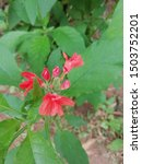 Kanakambaram Flower Very...