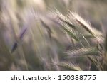 Field Of Grass Spikes On The...