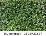 hedge texture close up...   Shutterstock . vector #1503931637
