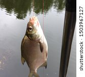 Small photo of Macro photo fishing bream fish. Caught fish bream hanging on a hook with maggot bait. Catch Bream fish on river background.