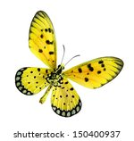 Stock photo yellow butterfly tawny coster or acraea violae isolated on white background 150400937