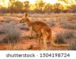 Side View Of Red Kangaroo With...
