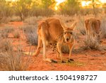 Small photo of Red female kangaroo with a joey in a pocket, Macropus rufus, on the red sand of outback central Australia. Australian Marsupial in Northern Territory, Red Center. Sunset light.