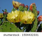 Micro Photo Of Prickly Pears...