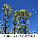 Wild Plant Of Senecio In Full...