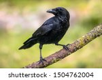Carrion crow  corvus corone ...