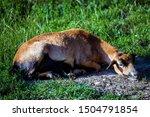 Female Of Cameroon Sheep  Ovis...