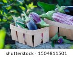 Fresh Organic Purple Eggplant ...