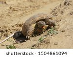 Stock photo steppe turtle testudo horsfieldii eats scanty desert grass the steppe tortoise also commonly 1504861094