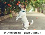 Dog Fond Of Tangerines Trying...