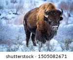 American Bison  Winter ...