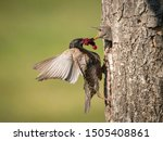 The common starling  sturnus...