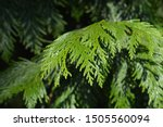 Western Red Cedar Branch  ...