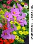 Beautiful Purple Cosmos Flowers ...