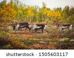 Group Herd Of Deer Caribou...
