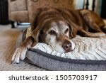 old dog comfortable on dog bed | Shutterstock . vector #1505703917