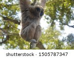 Captive lar gibbon (Hylobates lar), also known as the white-handed gibbon, hanging from a rope