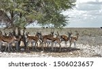 Springbuck In The Shade Of An...
