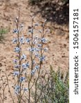 Small photo of USA, Nevada, Clark County, Gold Butte National Monument, The beautiful pale blue, spurred bloom of a desert larkspur (Delphinium parishii) belie a hidden toxicity that kills livestock that eat it.
